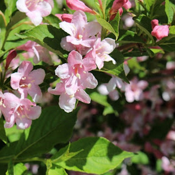 Вейгела цветущая Плангет С2 20-40