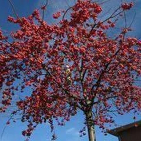Яблоня декоративная Ред Сентинел С37,5 250-300/8-10