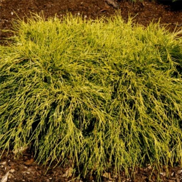 Кипарисовик горохоплодный Филифера Аурея Нана C15 60-80