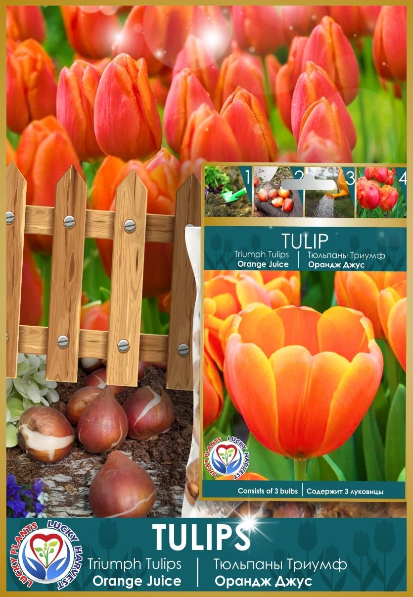 Луковицы  Тюльпана Триумф  Орандж Джус  (Triumph  Tulip ' Orange Juice') ТМ LUCKY HARVEST