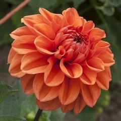 Георгина декоративная Оранж Пекое Orange Pekoe