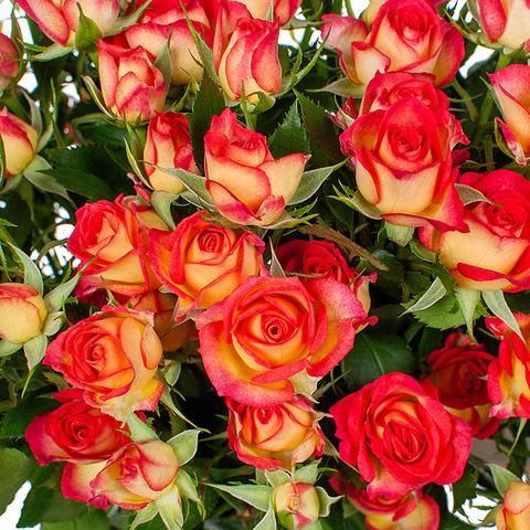 Розы кустовые двухцветные Rubyella от 5шт
