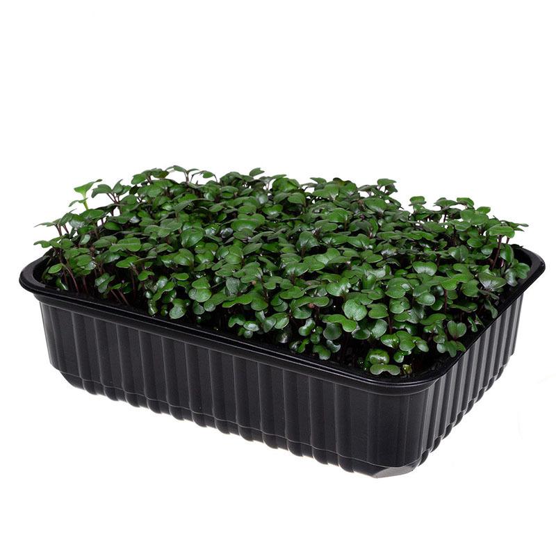 Фотография Красная капуста на корне (лоток) / 40 гр купить в магазине Афлора