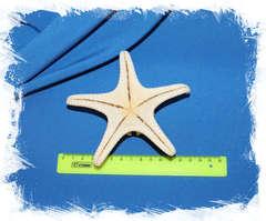 Сушеная морская звезда размер