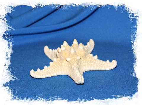 Морская звезда отбеленная 10 - 12 см.
