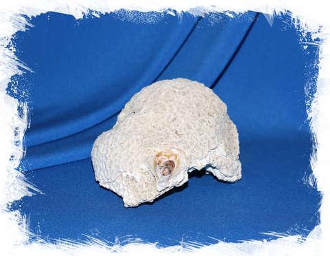 Мозговой коралл до 13 см. (с ракушкой)