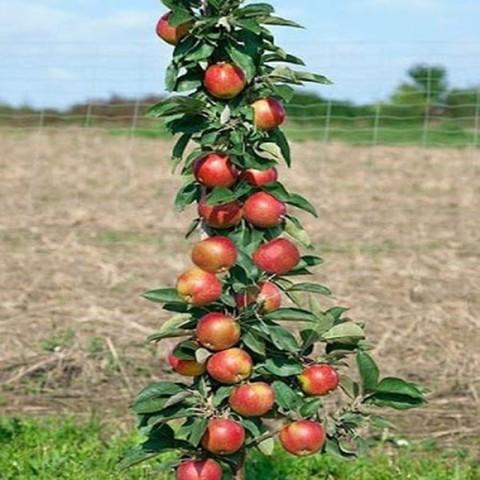 Яблоня колонновидная (подвой М-9, карликовый) Валюта