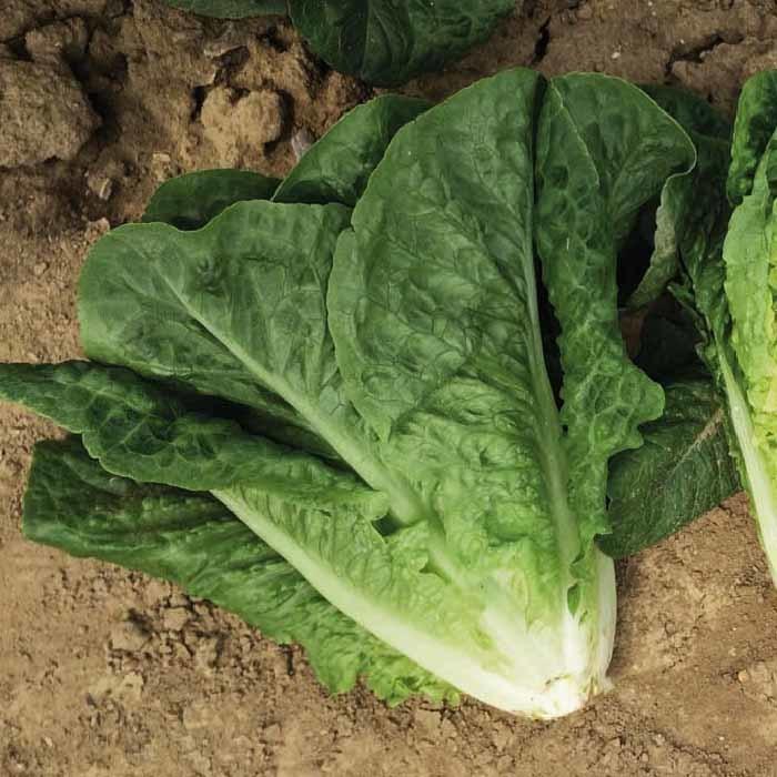 Nunhems Скала семена салата ромэн (Nunhems / Нюнемс) скала_.jpg