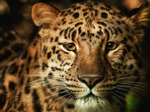 Алмазная Мозаика 30x40 Взгляд леопарда (Арт. SEG72189 )