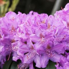 "Рододендрон гибридный Пурпуреум Грандифлорум ""Purpureum Grandiflorum"""