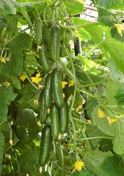 Гавриш Аль-Бируни F1 семена огурца партенокарпического (Гавриш) Аль_Бируни_семена_овощей_оптом.jpg