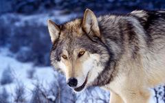 Алмазная Мозаика + Багет 30x40 Волк в зимнем лесу