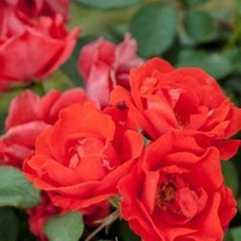 Роза флорибунда Оранж Пассион С6