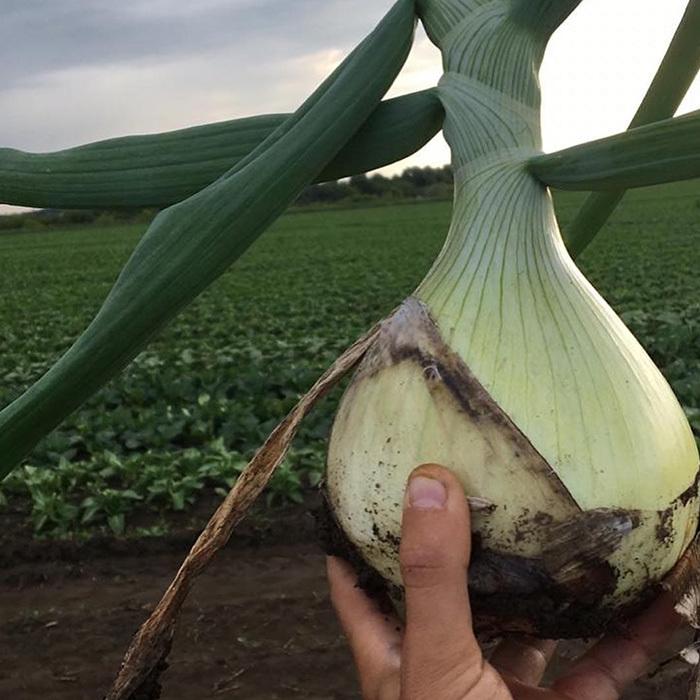 Репчатый Эксибишен семена лука репчатого (Bejo / Бейо) Эксибишен_1.jpg