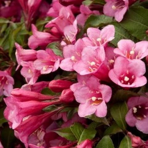 Вейгела цветущая Планджери С2 20-40