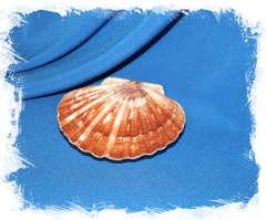 Японский морской гребешок (Pecten albicans)
