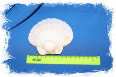 Японский морской гребешок (Pecten albicans) размер