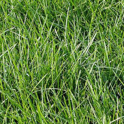 Полевица побегоносная Кроми (1уп-100гр)