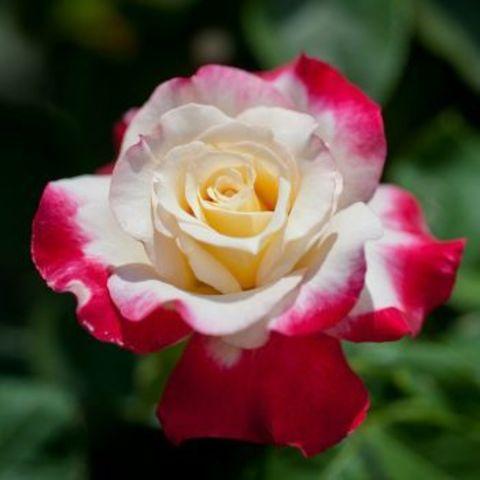 Роза чайно-гибридная Дабл Делайт (в тубе)