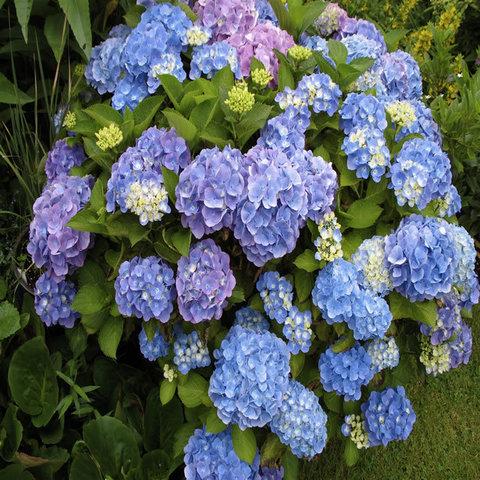 Гортензия крупнолистовая  (цветёт всё лето) Со Лонг Эбони (С3)