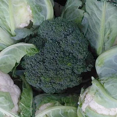 Фотография Капуста брокколи свежая / 1 кг купить в магазине Афлора