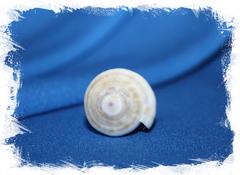 Конус теребра (Conus terebra)