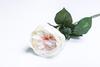 Кремово-персиковая роза.