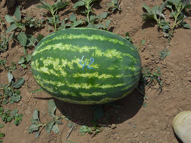 Красный E-42 F1 семена арбуза (Takii / Таки) e_42_семена_овощей_оптом.jpeg