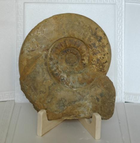 Скульптурная композиция. Аммонит юрского периода.