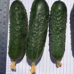 Антисипатор F1 семена огурца партенокарпического (Nunhems / Нюнемс)