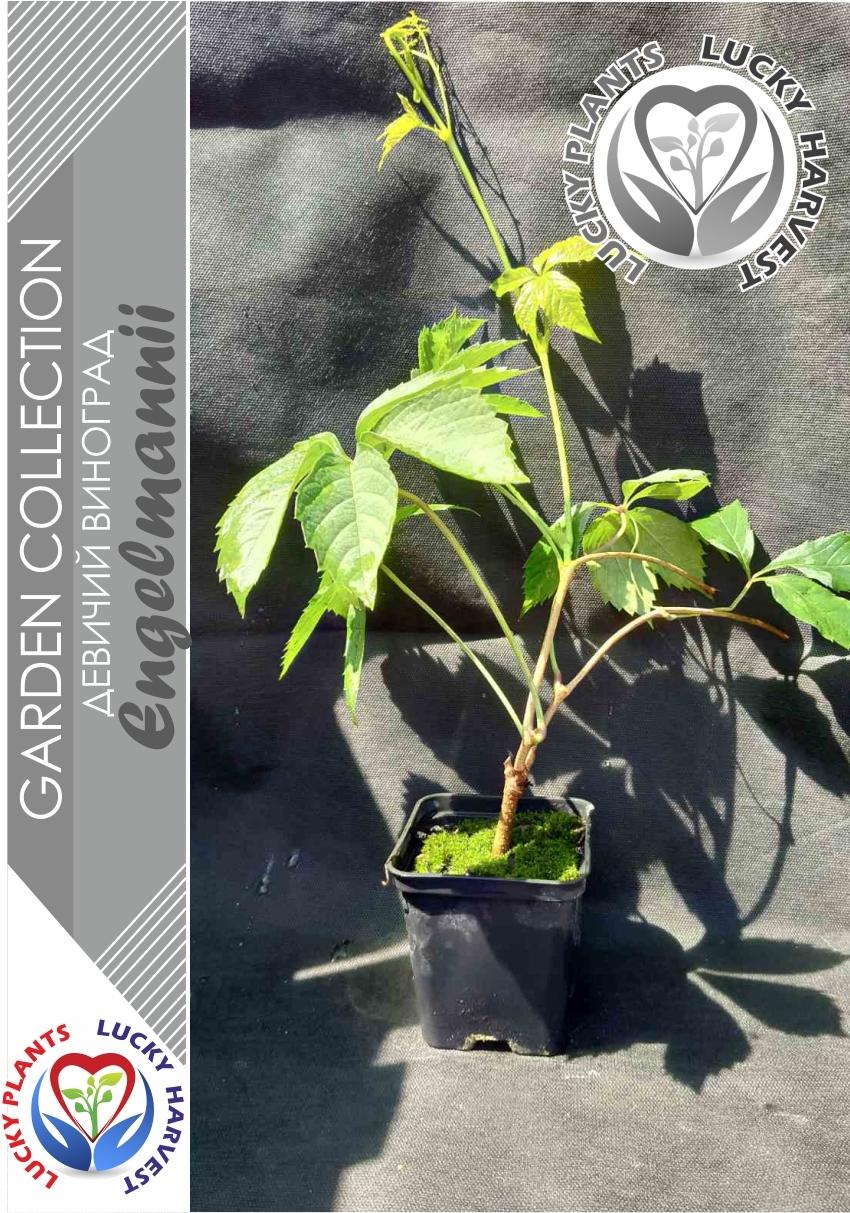 Виноград девичий пятилисточковый 'Engelmannii' (Parthenocissus quinquefolia 'Engelmannii')  ТМ LUCKY HARVEST