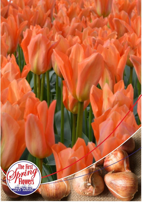 Луковицы Тюльпана Фостера Orange Emperor (Оранж Имперор) TM Jan de Wit en Zonen B.V. ( количество в упаковке 3 луковицы)