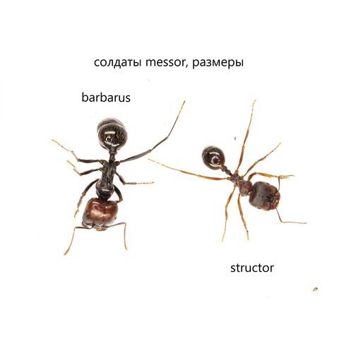 Солдаты messor, structor VS barbarus