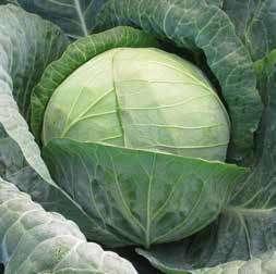 Белокочанная Ландини F1 семена капусты белокочанной (Hazera / Хазера) Ландини_F1.jpg