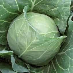 Белокочанная Магнус F1 семена капусты белокочанной (Hazera / Хазера) Магнус_F1.jpg