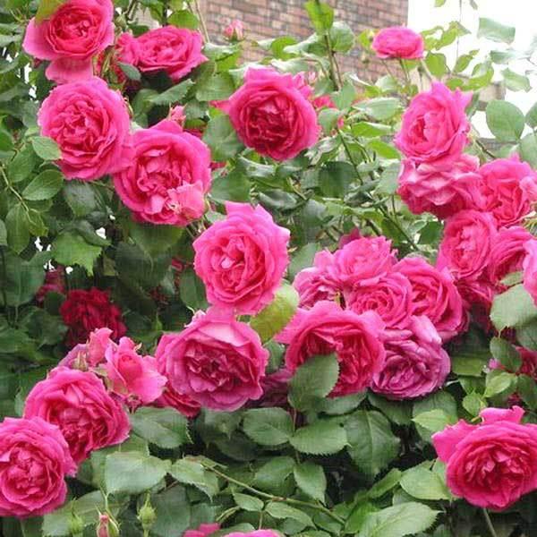 Роза плетистая Парад