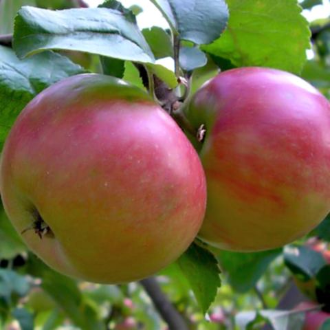 Яблоня осенняя Жигулевское (3-летняя)п/ карл. подвой ЗКС