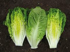 Ксанаду семена салата ромэн (Enza Zaden / Энза Заден)