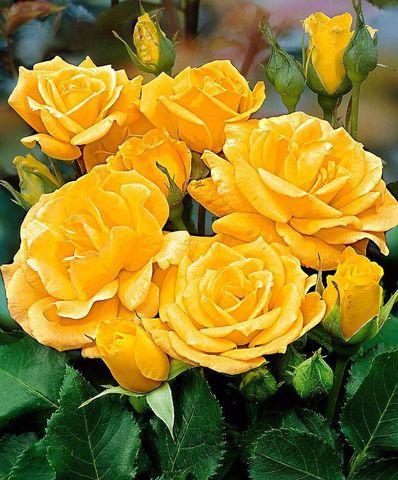 Роза флорибунда Артур Белл (в тубе)