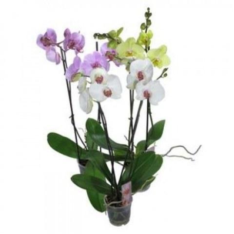 Орхидея Mixed d12 h50
