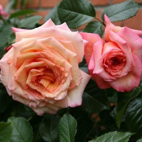 Роза плетистая Барок Тантау С6