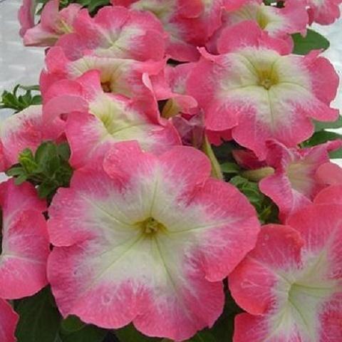 Петуния крупноцветковая Limbo F1, pink morn