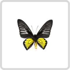 Troides Rhadamantus – Золотая Птицекрылка