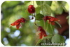 Эсхинантус, Tricolor