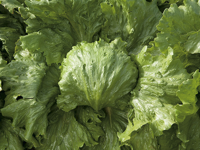Салат Саула семена салата айсберг (Enza Zaden / Энза Заден) Саула.jpeg