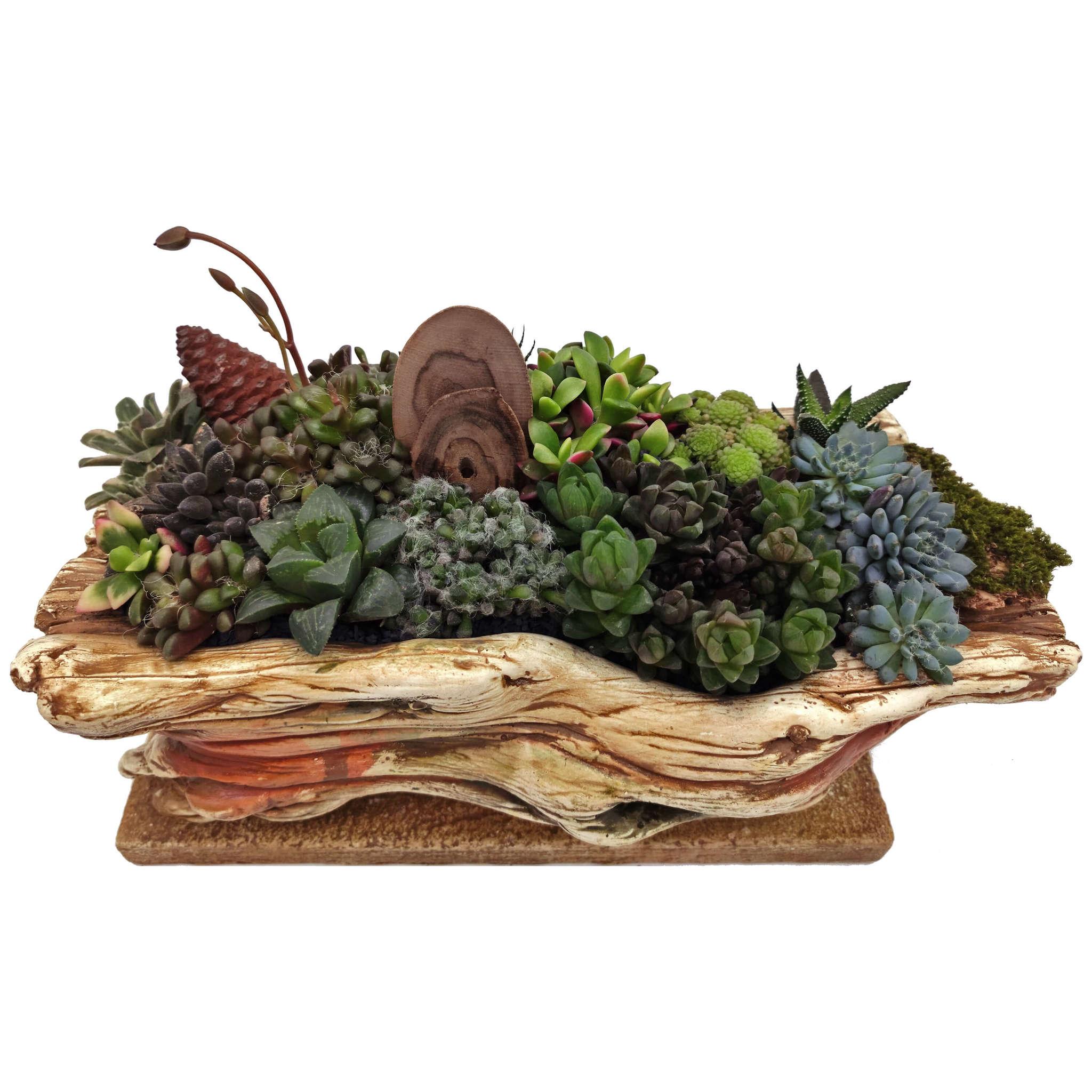 Девоншир - живая композиция из суккулентов