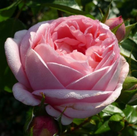 Роза чайно-гибридная Вояж С6