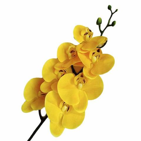 Фаленопсис желтый