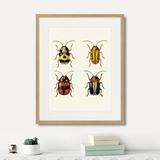 Марк Кейтсби - Assorted Beetles №6, 1735г.