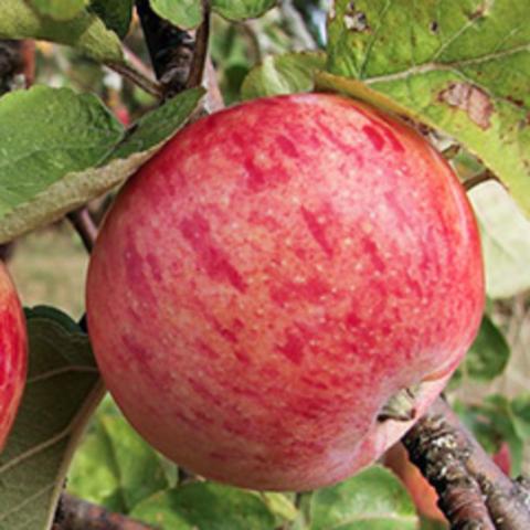 Яблоня осенняя Осеннее полосатое (Штрейфлинг) (2-летняя) п/карл.ЗКС